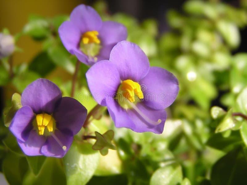 Violet flower. Fresh violet flower (violet royalty free stock photography