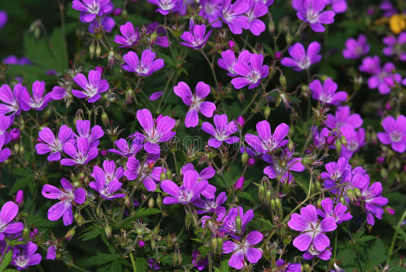 Download Violet flower background stock photo. Image of lush, grass - 14710250