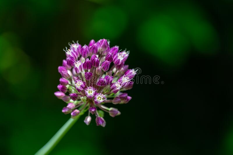 Violet flower ball of opening blooming decorative onion on dark green blurred nature greenery. Macro photo of lilac color Allium Flower with selective focus stock images