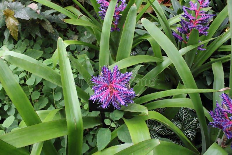 Violet Flower in Bloei stock foto's