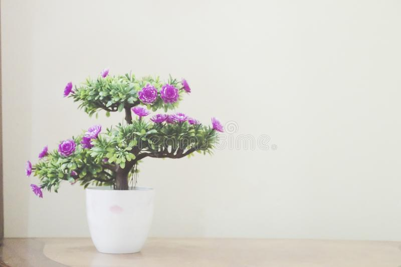 Violet flower bloom interior decoration. Violet colored flowers bloomed in indoor pot royalty free stock photos