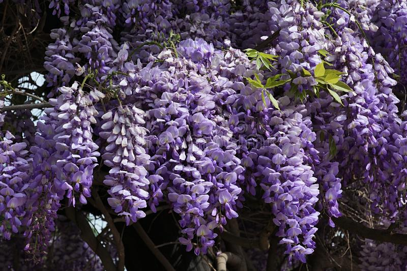 Violet flower cluster of climbing woody plant Wisteria, possibly Wisteria Sinensis. Sunbathing in afternoon sunshine stock photography