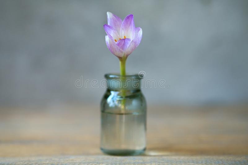 Violet flower in a glass vessel againstof blurred. Violet flower in a glass vessel against a background of blurred royalty free stock photo