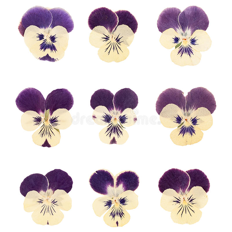 Violet flower heads. Set heads of dried pressed Violet flowers isolated stock images