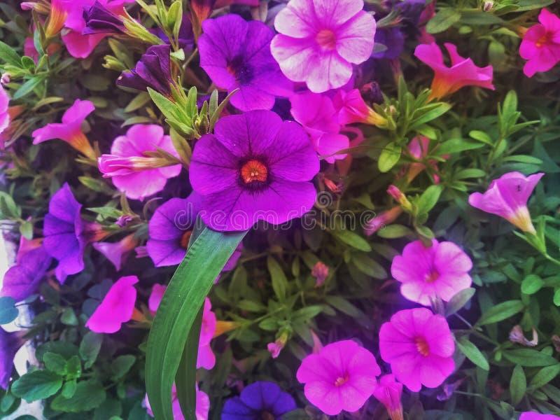 Violet flower in Naples stock photos