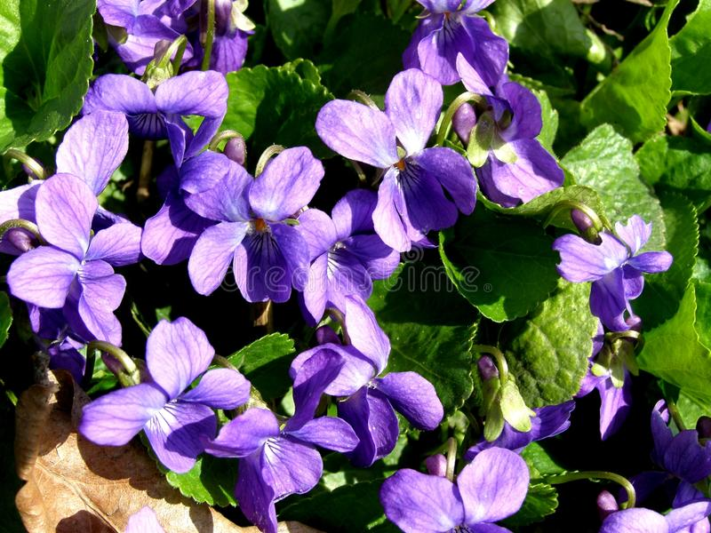 Violet flower in nature royalty free stock photos