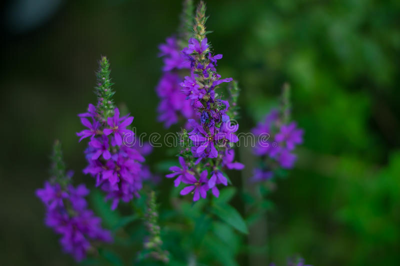 Violet flower. Photo shows violet flower in the field royalty free stock photography