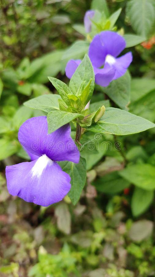 Violet flower is very beautiful and beautiful nature gift this is magical gift of nature thanks very much stock photography