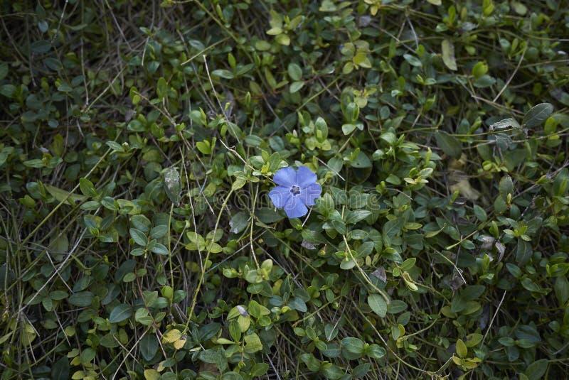 Vinca minor in bloom. Violet flower of Vinca minor plants stock photos