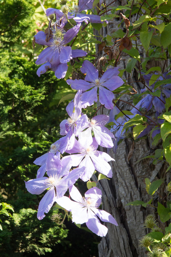 Violet Flower Vine stock image