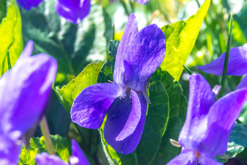 Violet flower (Viola odorata) early spring in Slovakia, macro royalty free stock photography