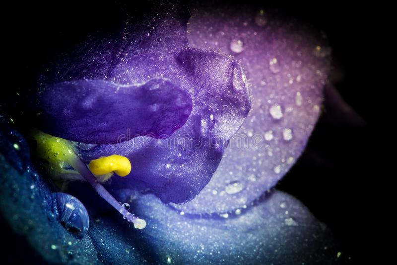 Violet flower with water rain drops macro closeup with beautiful soft gradient. Creative photo of violet flower with vignette. Texture of violet flower royalty free stock photo