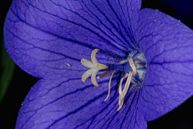 Violet flower white pistil. Close up macro detail stock photo