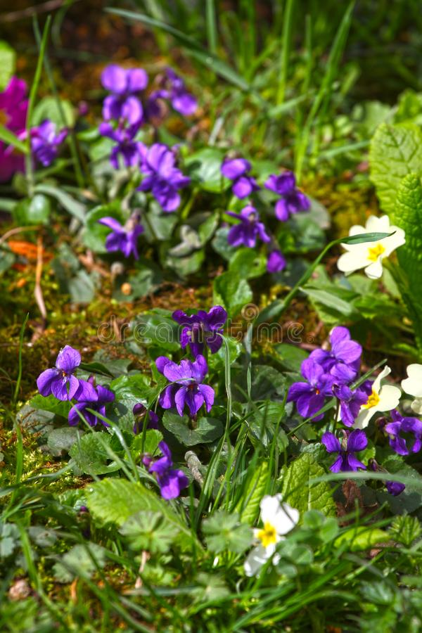 Violet flower. Wild violets on a meadow in nature. Wild violets in spring on a sunlight. Natural background, floral pattern stock photos