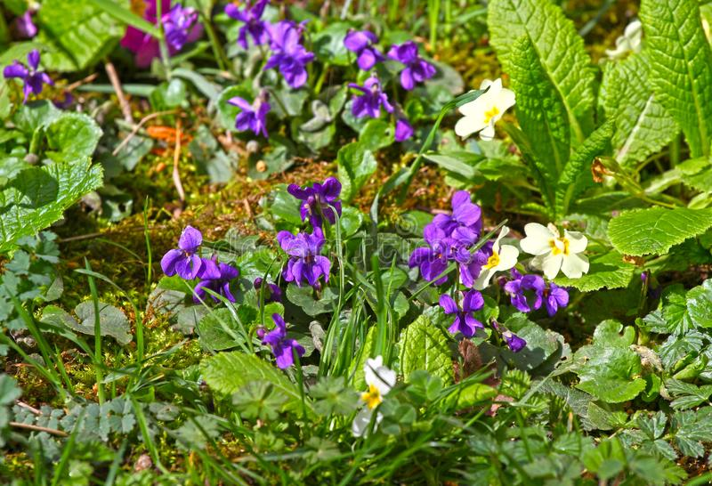 Violet flower. Wild violets on a meadow in nature. Wild violets in spring on a sunlight. Natural background, floral pattern. stock images