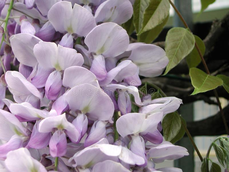 Wisteria sinensis in bloom. Violet flower of Wisteria sinensis climber stock images