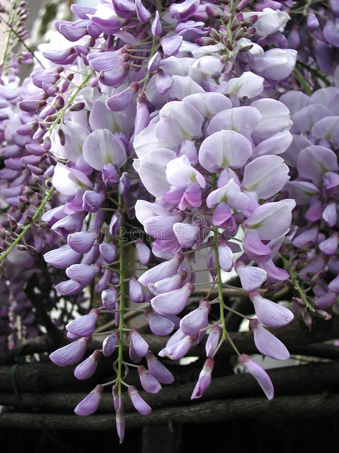 Wisteria sinensis in bloom. Violet flower of Wisteria sinensis climber royalty free stock photography