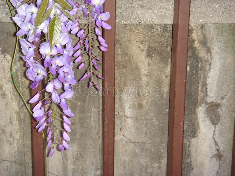Wisteria sinensis in bloom. Violet flower of Wisteria sinensis climber stock photo