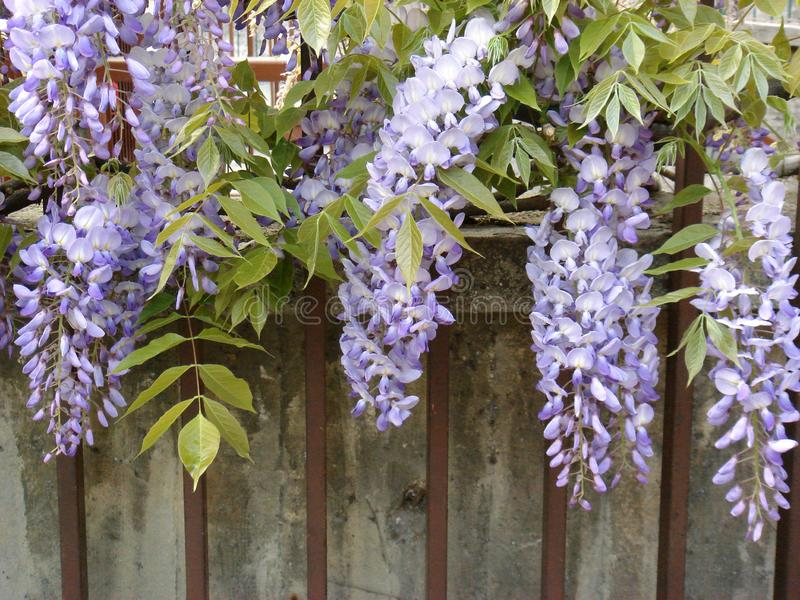 Wisteria sinensis in bloom. Violet flower of Wisteria sinensis climber stock image