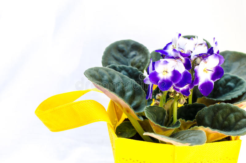 Violet flower. In yellow pot stock photo