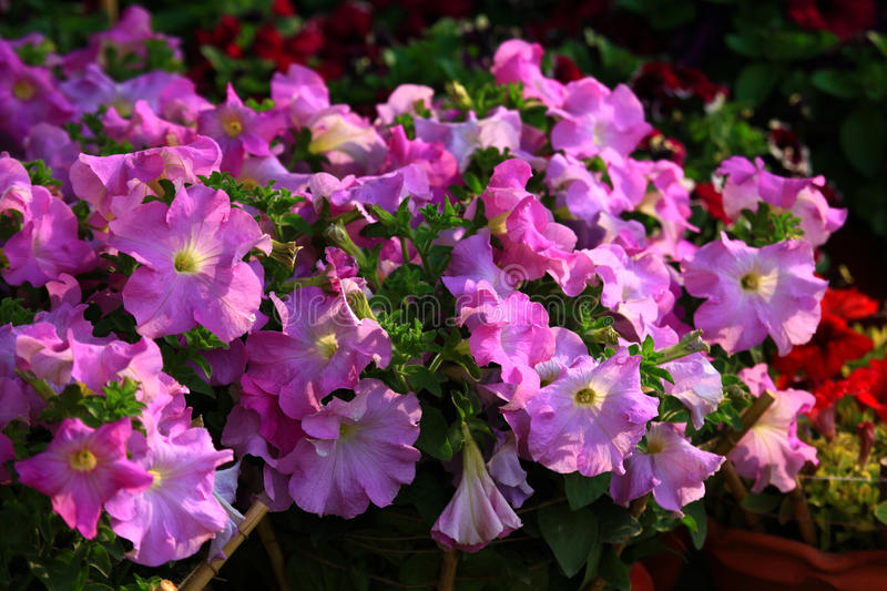 Download Violet flowered petunia stock photo. Image of spring - 30441890