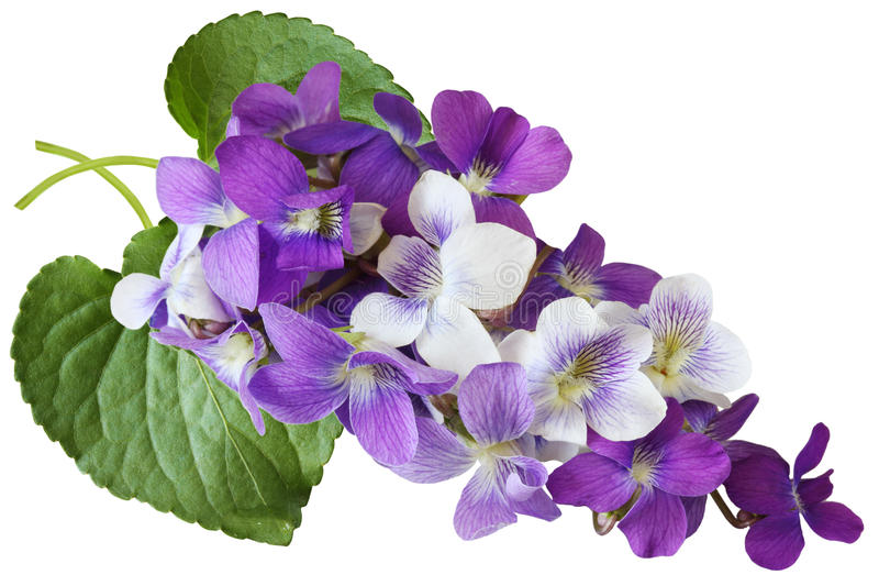 Violet Flowers. Bundle of blue, white, and purple wild violet flowers royalty free stock image