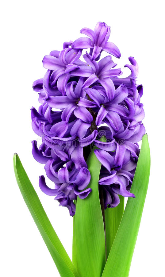 Download Violet flowers stock image. Image of blooming, fresh - 23840241