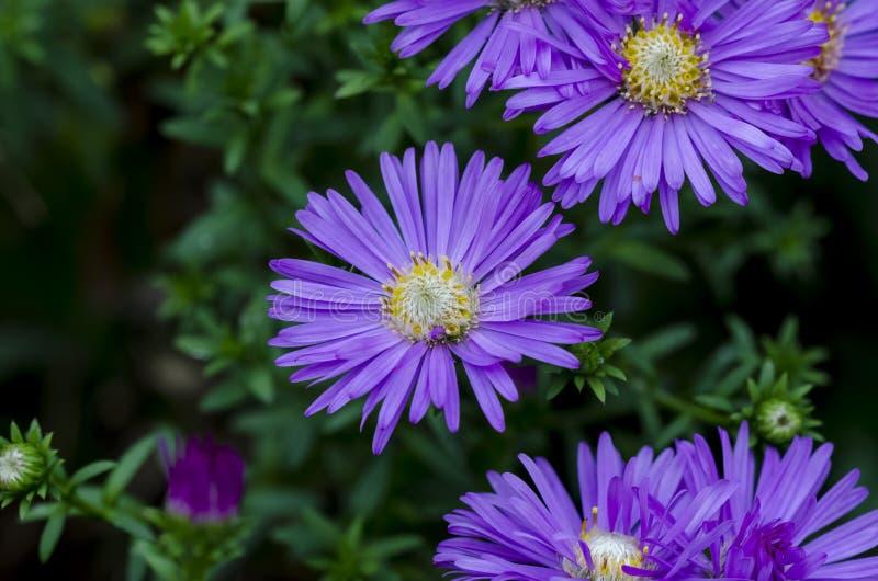 Violet flowers. Blossom of violet aster Aster dumosus. Close up stock photos