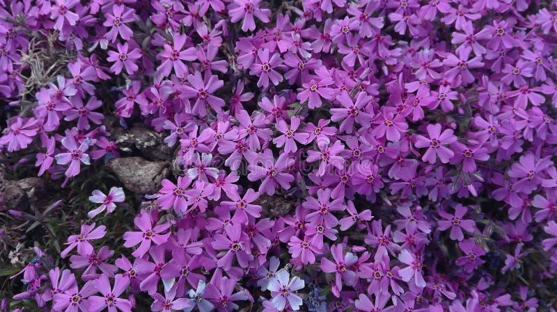 Violet Flowers bonita para seu fundo fotografia de stock royalty free