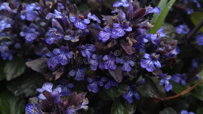 Violet Flowers bonita para seu fundo fotografia de stock