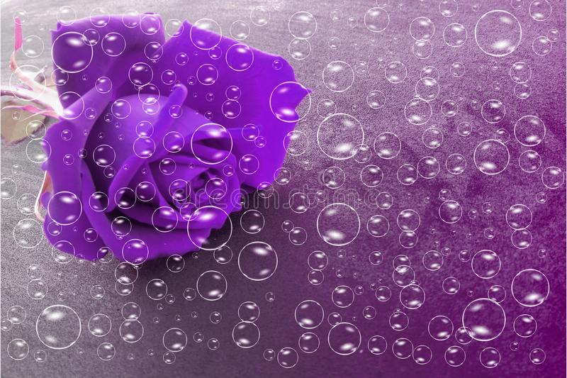 Violet rose flower with bubbles and violet shaded textured background, vector illustration. vector illustration
