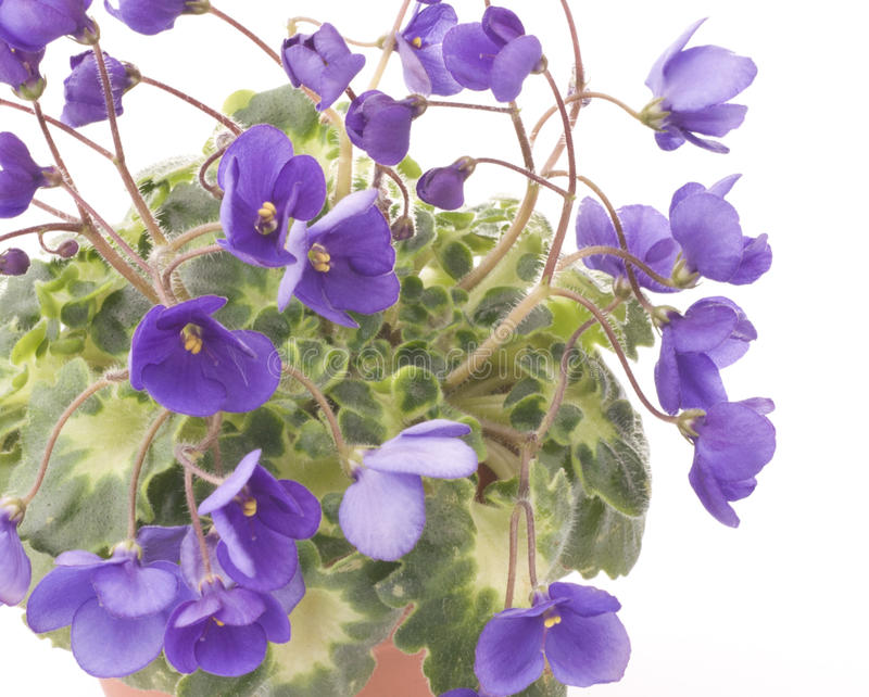 Violet flowers close up