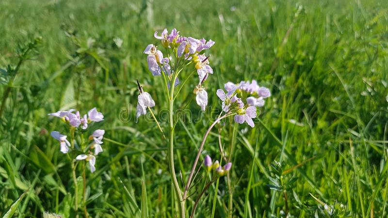 Violet flowers at a field stock photo