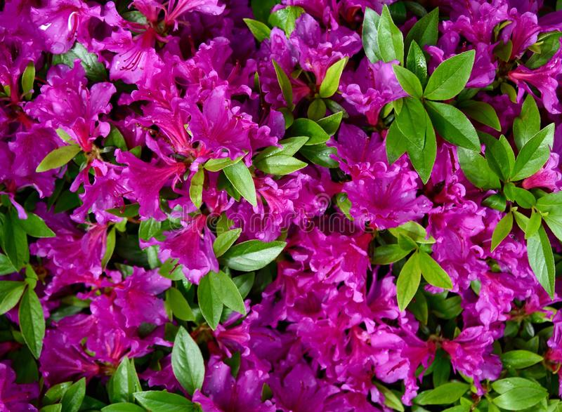 A cluster of violet flowers and green leaves of an azalea plant in a garden. Violet flowers and green leaves of an azalea plant, Rhododendron, in a garden royalty free stock photo