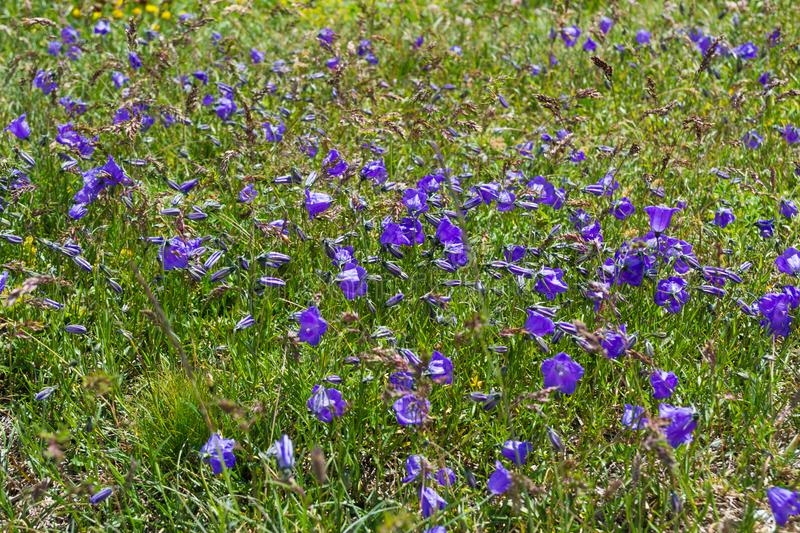 Violet flowers in the mountains royalty free stock photography