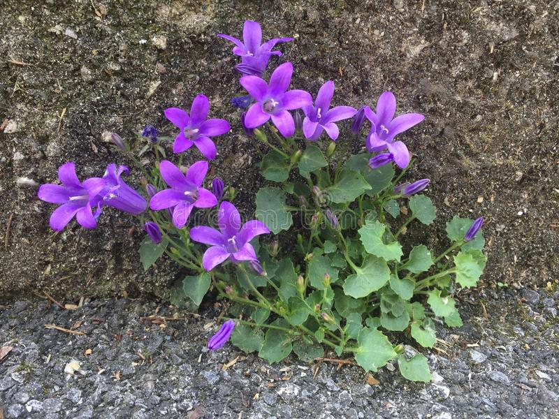 Violet Flowers nella parete e nell'asfalto immagini stock libere da diritti