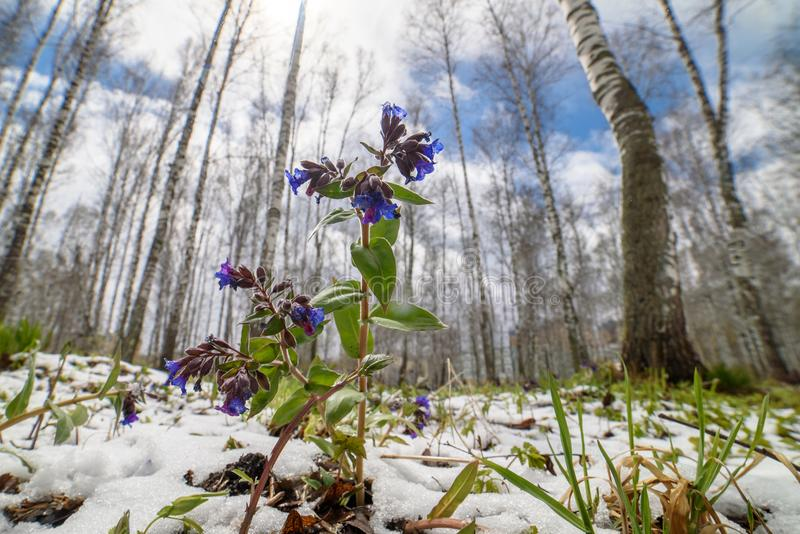 Violet flowers in the snow in the forest in the spring. In the background there is a tree and the sky royalty free stock images