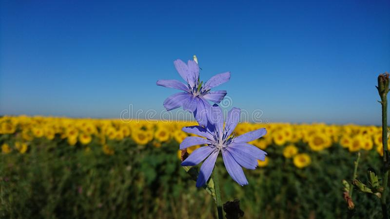 Violet flowers and sunflower field royalty free stock photography