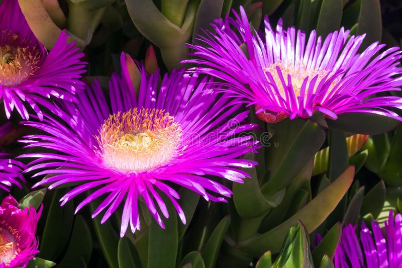 Violet flowers and thick green leaves of carpobrotus. Carpobrotus edulis is an edible and medicinal plant. Succulents.  royalty free stock images
