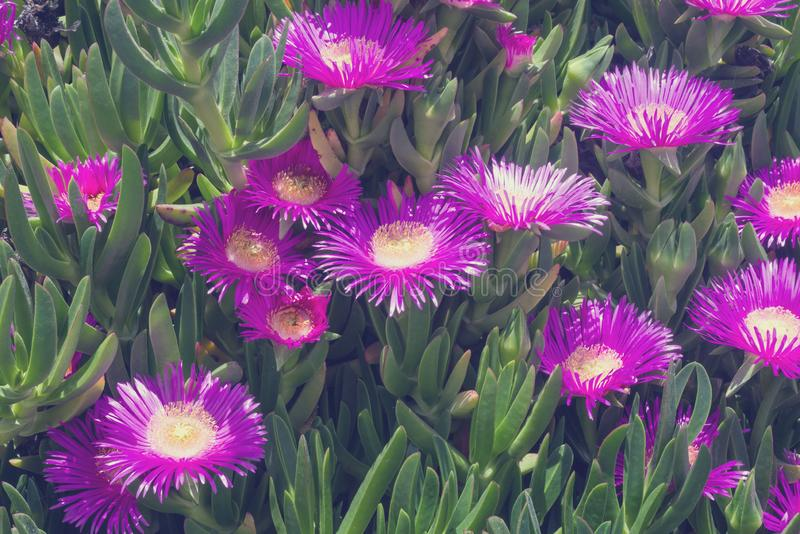 Violet flowers and thick green leaves of carpobrotus. Carpobrotus edulis is an edible and medicinal plant. Succulents.  stock photos
