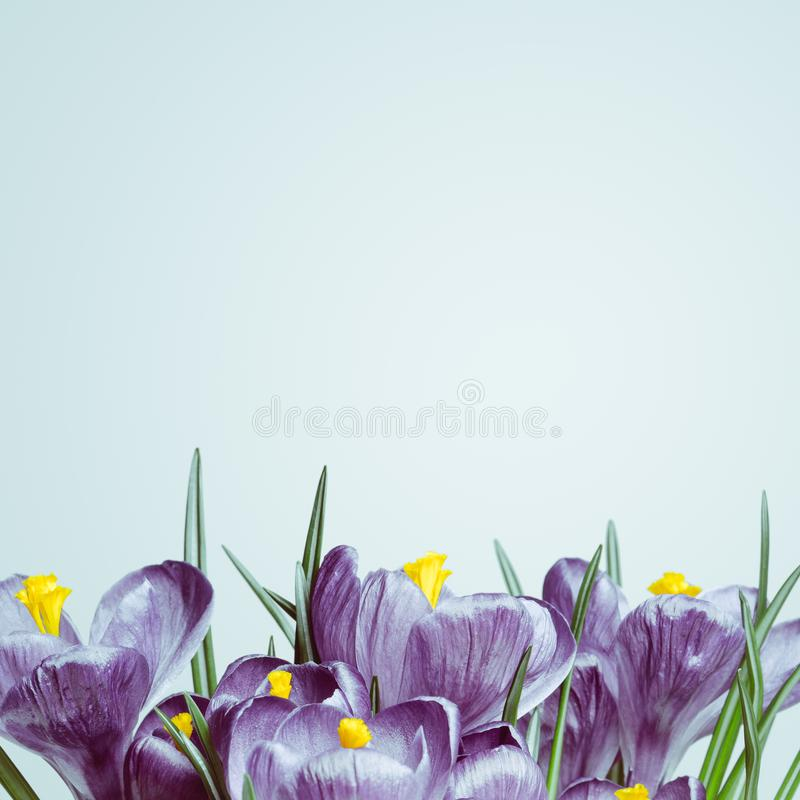 Violet flowers on a white background stock images