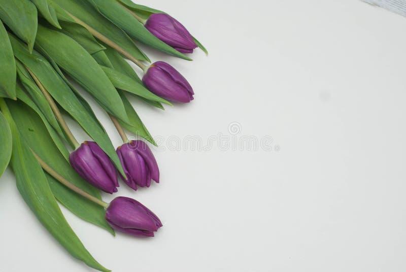 Violet Fresh Tulip Flowers en fondo ligero neutral Fondo del saludo de la primavera con el espacio de la copia imagen de archivo libre de regalías