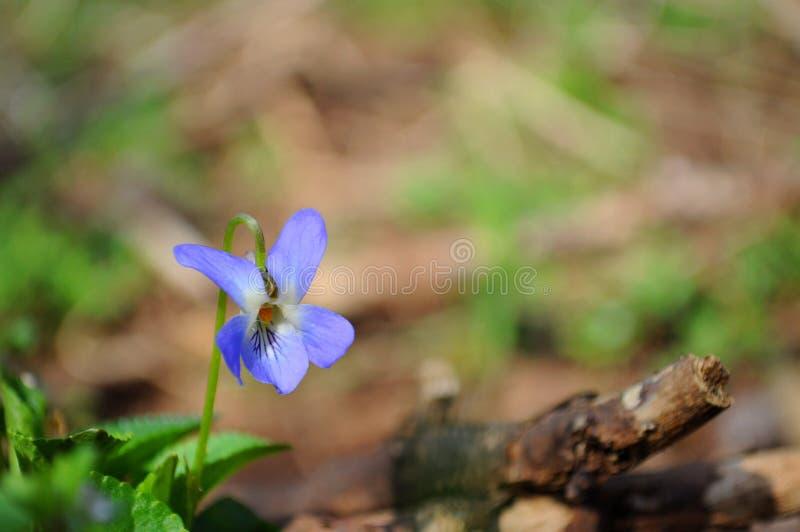 Detail of violet in garden in spring stock photos