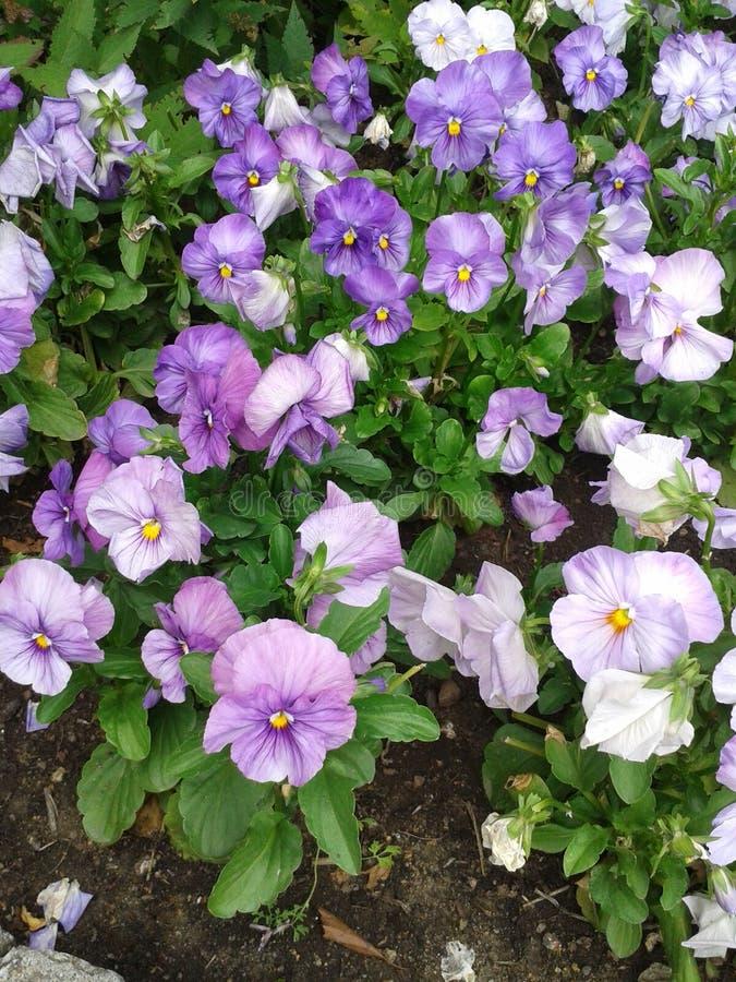 Violet Garden Pansies royalty free stock photo