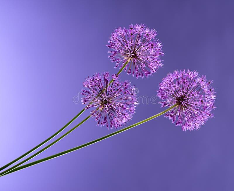 Violet Garlic Flowers. On a violet background stock images
