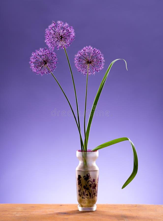 Violet Garlic Flowers no vaso fotos de stock