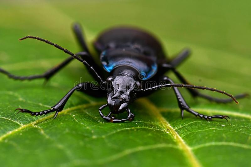 Violet ground beetle, Carabus violaceus in close-up stock images