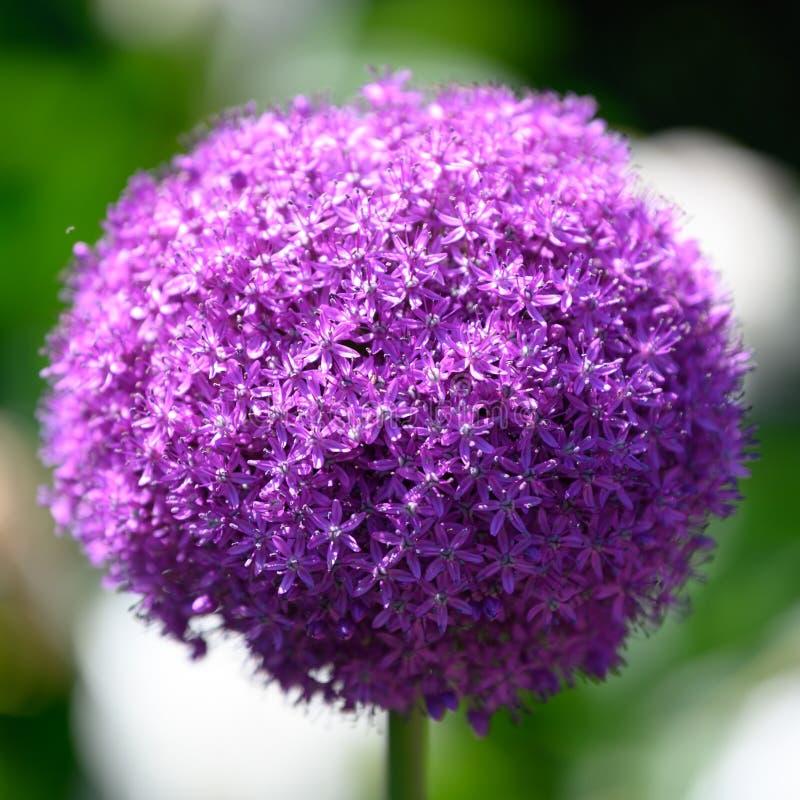 Allium, purple allium ball, sunlight stock photo