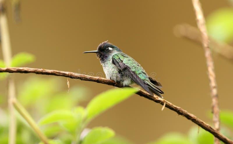 Violet-headed Hummingbird, Klais guimeti royalty free stock photo