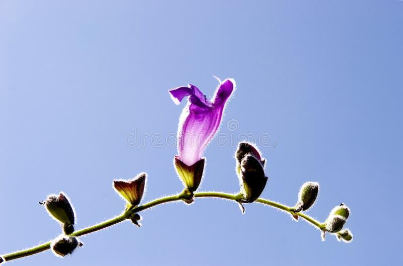 Violet horn flower